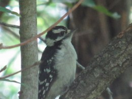 Very young Downy Woodpecker likes this tree!