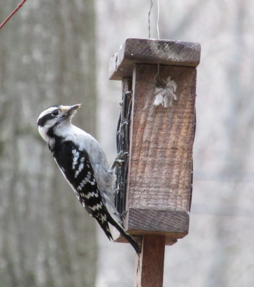 Wintertime suet supplements the bugs my woodpeckers find under the bark of the trees.