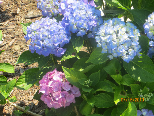 Pink and blue hydrangea on same plant.