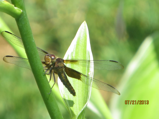 A resting dragonfly.