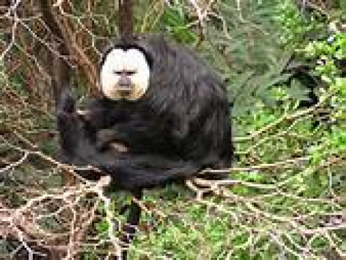 the white faced Saki