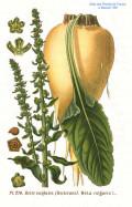 The History of Sugar Beet