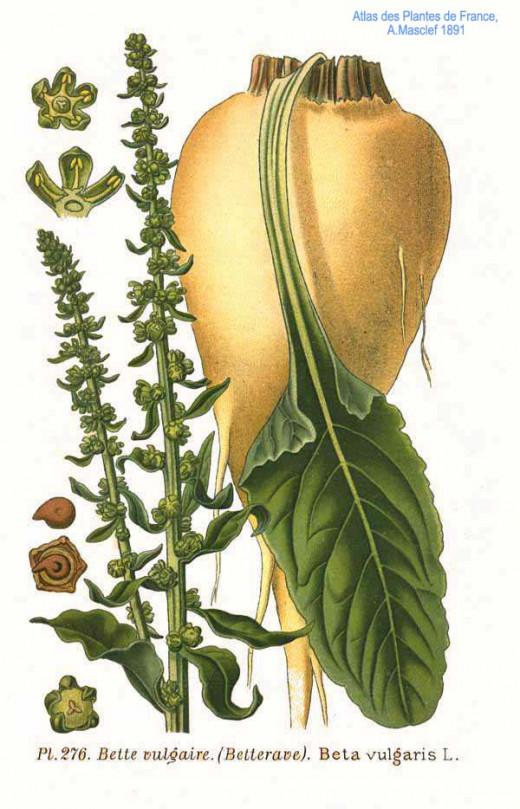 Sugar beet, Beta vulgaris.