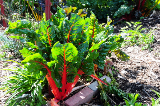 Swiss chard, a common variety of beet grown for its leaves.