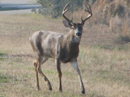 A white-tailed buck