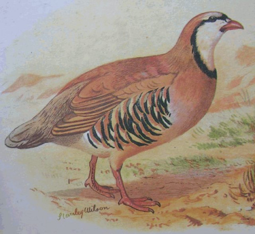 Chukar partridge found on Southern Ohio farms.