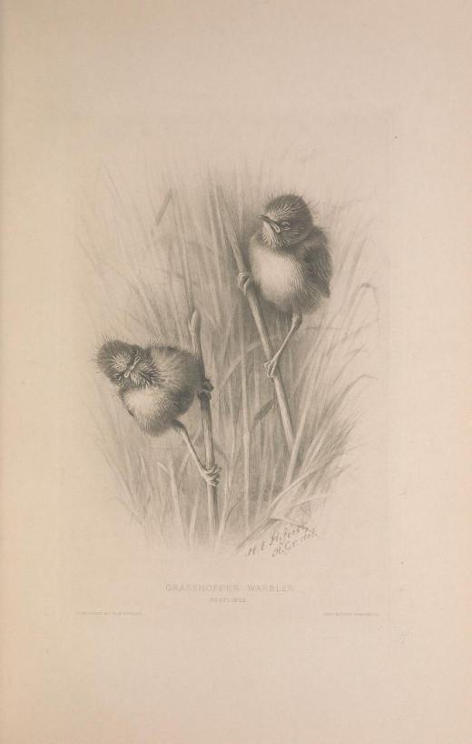 British warblers 1907-1914