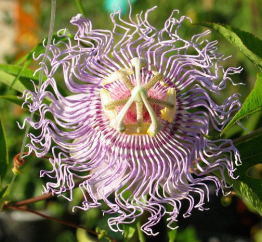 Passiflora incanata, the medicinal species of passionflower