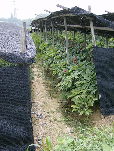 A field of ginseng