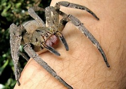 A Brazilian wandering spider; please note that it's not safe to have this spider on the skin!