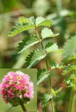 Salad Burnet, leaves and flower