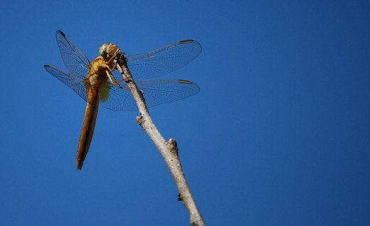 Dragonfly resting on a branch, shot in Malta against a clear blue sky