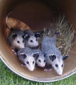 Facts About Possums ~~ They Are Not Throw Away Animals