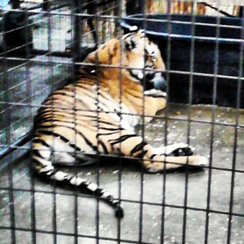 Richard Parker. Tiger. Zoo Life.
