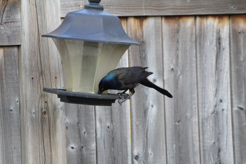 A Grackle perched on our feeder