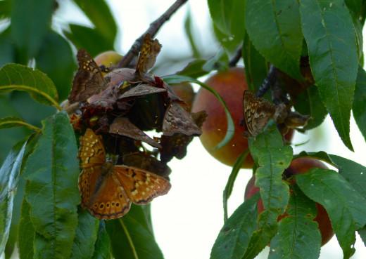 Butterflies on Peach
