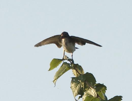 Eastern Kingbird Balancing in Wind
