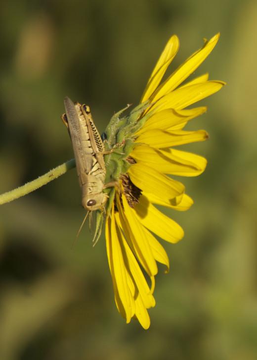 Grasshopper Perched on Wild Sunflower