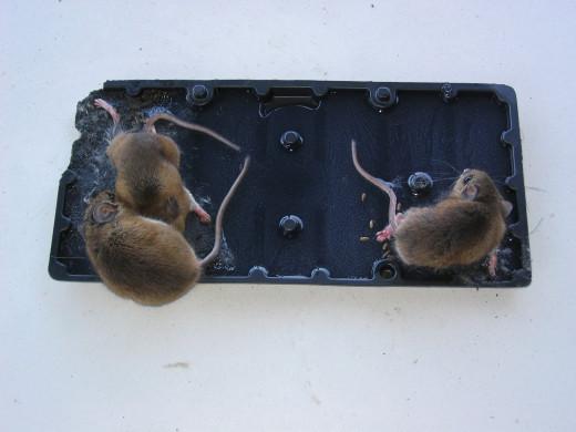 Mice on Glue Trap