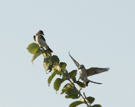 Eastern Kingbird(top of Tree) with Scissor-tailed Flycatcher(bottom)