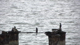 Cormorant's perched on a trunk overlooking the Gobind Sagar Lake