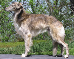 Silken Windhound: Elegant Sighthound Hunting Dog