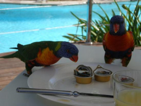Uninvited (but welcome) guests at breakfast!  Lorikeets  -- Hamilton Island in the Great barrier Reef, Australia.