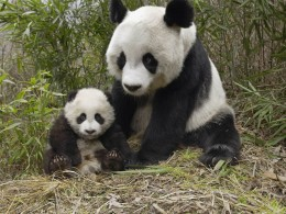 Panda Facts For Kids image tips