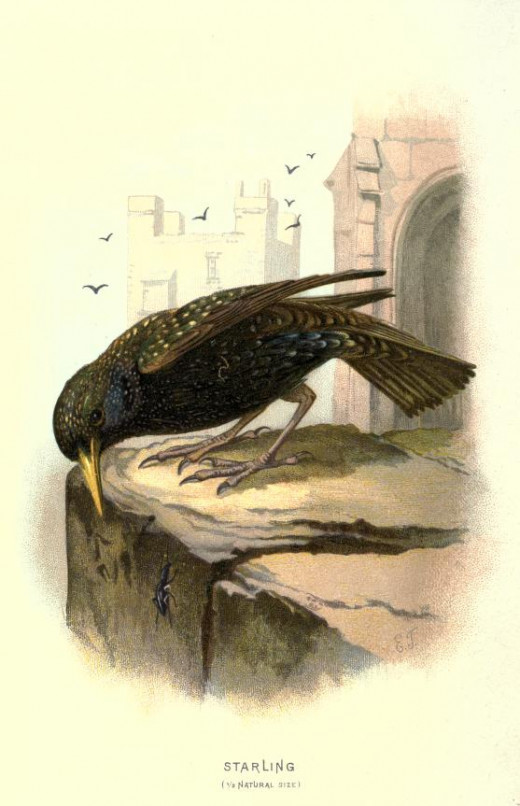 Familiar Wild Birds { 1883}