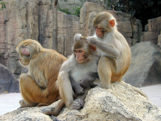 Monkeys love to be around others and enjoy being pampered and adored by their partners.