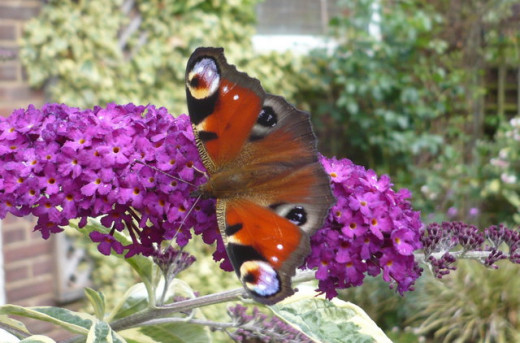 Peacock butterfly on a buddleia bush The butterflies were out in full force today and there were painted ladies, large whites, peacocks, a gatekeeper and a small copper on this plant during the course of the afternoon. Author: Pam Fray  CC-BY-SA.2.0