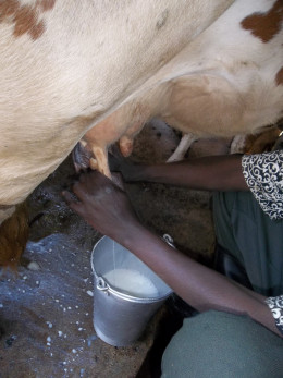 milking a cow in a small holding
