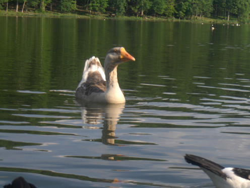 The Head Quacker at one of the Regional Water Reservoirs at a Park with a 256 acre lake in Maryland