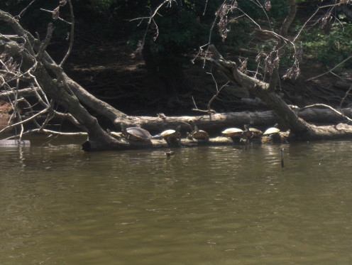 Turtles sunning on a downed tree