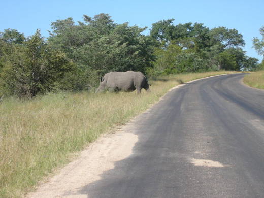 A rhino in the Kruger National Park, South Africa