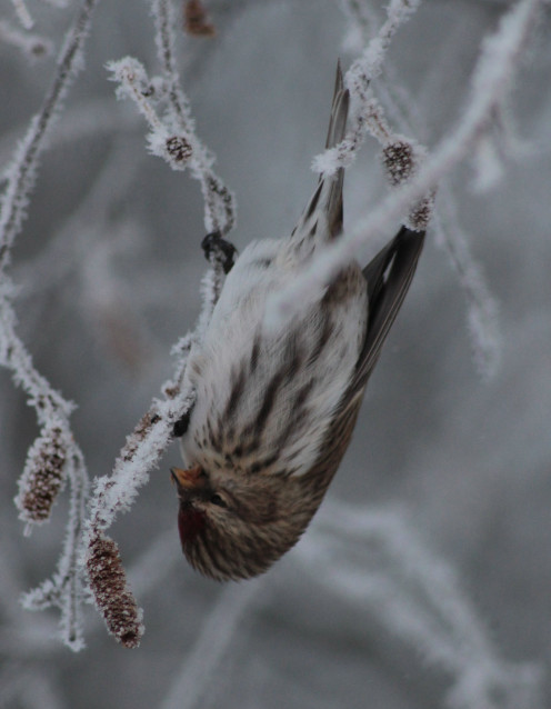 A common redpoll (Carduelis flammea) in Hupisaaret Islands park in Oulu, Finland hanging on a branch.