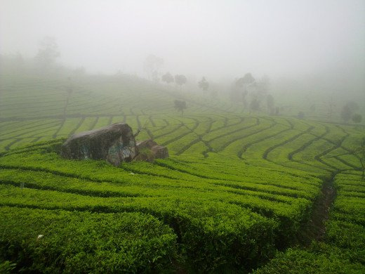 Lush, well-patterned tea plantations.