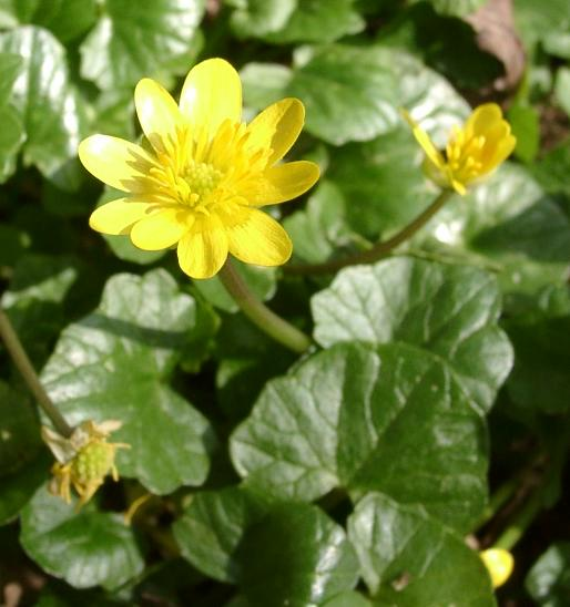 The petals of lesser celandine are much more numerous and the plant is much smaller than the plant under review {Creative Commons Attribtution Share Alike 3.0 unported license.