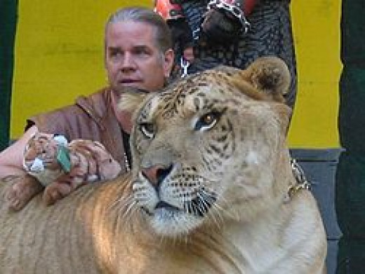 Liger Hercules with trainer