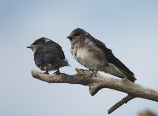 Eastern Kingbird Fledglings