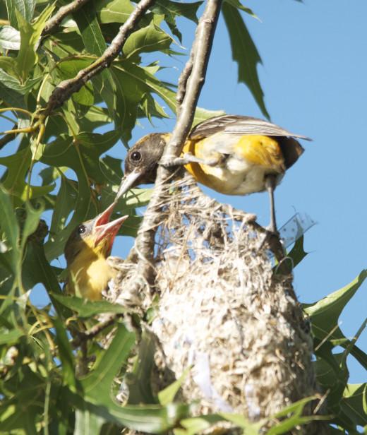 Nestling Baltimore Oriole(Left)