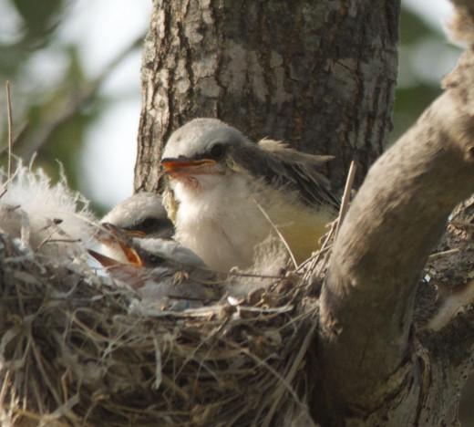 Three Nestling Scissor-tailed FLycatchers