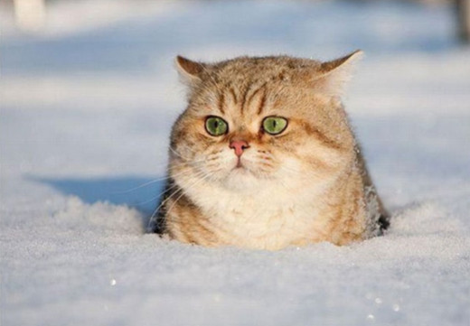 Silly Cat in Snow