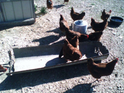 Reducing the Cost of Chicken Feed