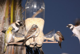 Birds around a bird feeder made from a Coke bottle in Johannesburg, South Africa.