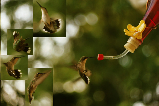 Composite image of various defensive and evasive moves by a female ruby-throated hummingbird (Archilochus colubris) at a man-made feeder near Rossville, Tennessee.