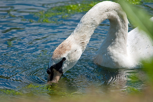 Swan fetching food under water