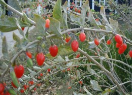 Goji fruits fresh
