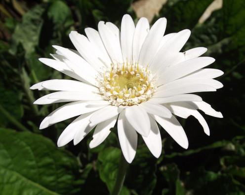 'Drakensberg White'