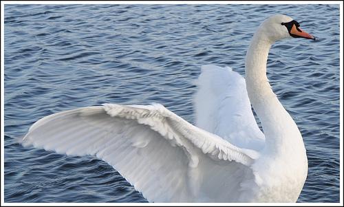 Swan flight